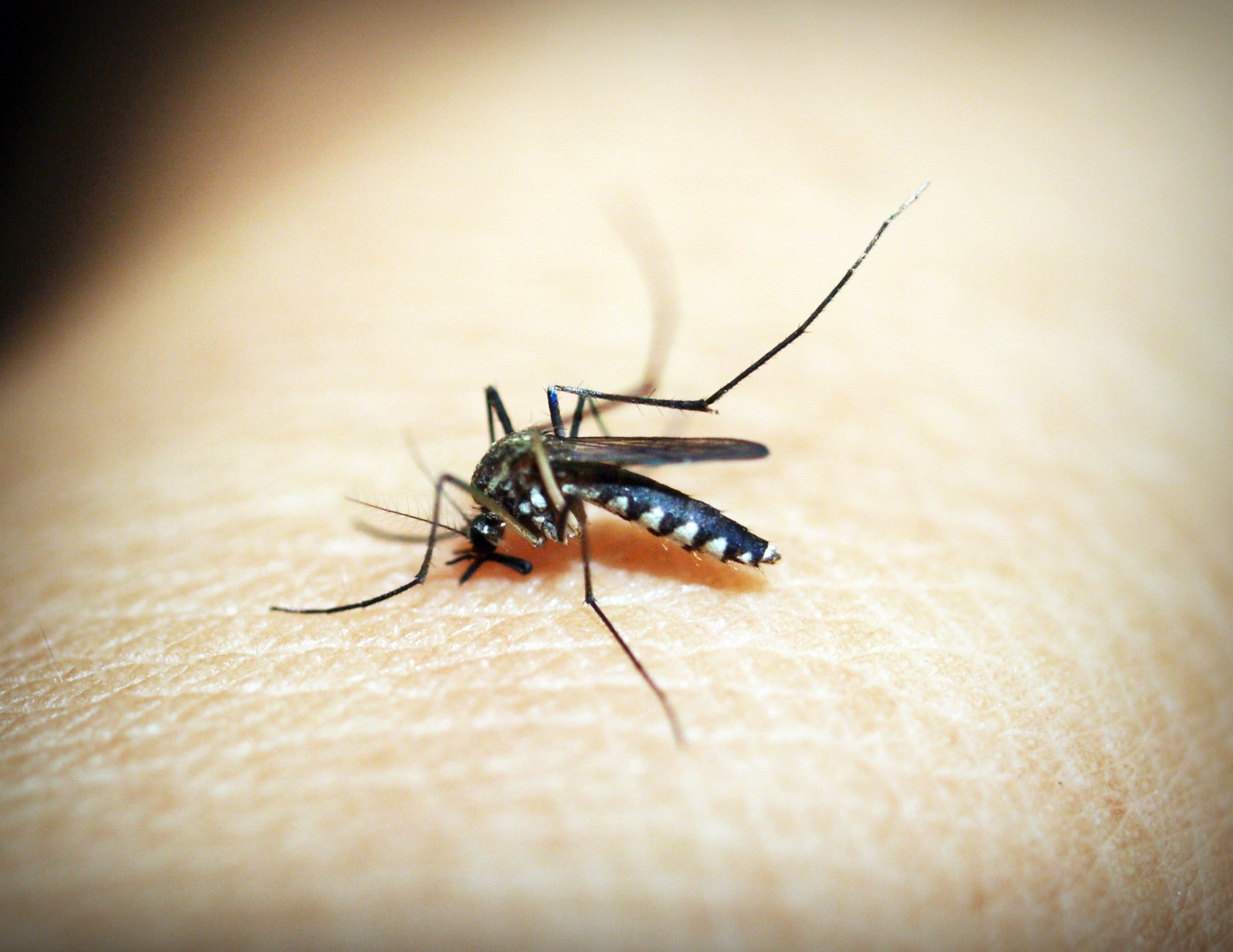 The Dreaded Mosquito